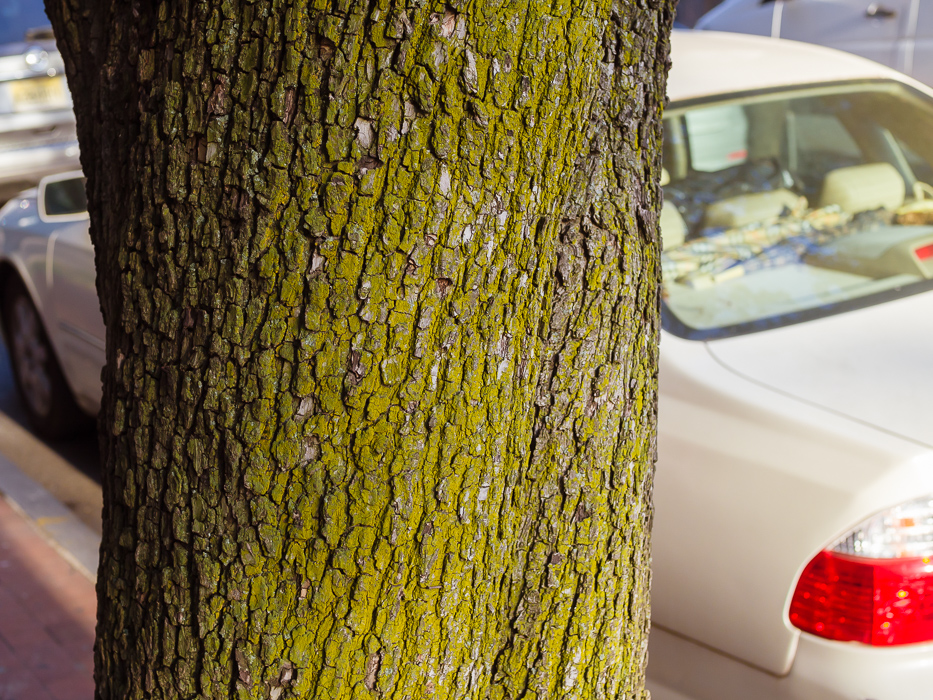 Jersey Tree White Car by Susanne Sasic